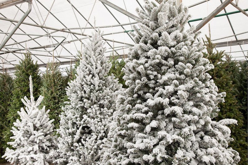 Brighten the holidays with festive plants from Pike Nurseries | Lifestyle |  mdjonline.com - Brighten The Holidays With Festive Plants From Pike Nurseries