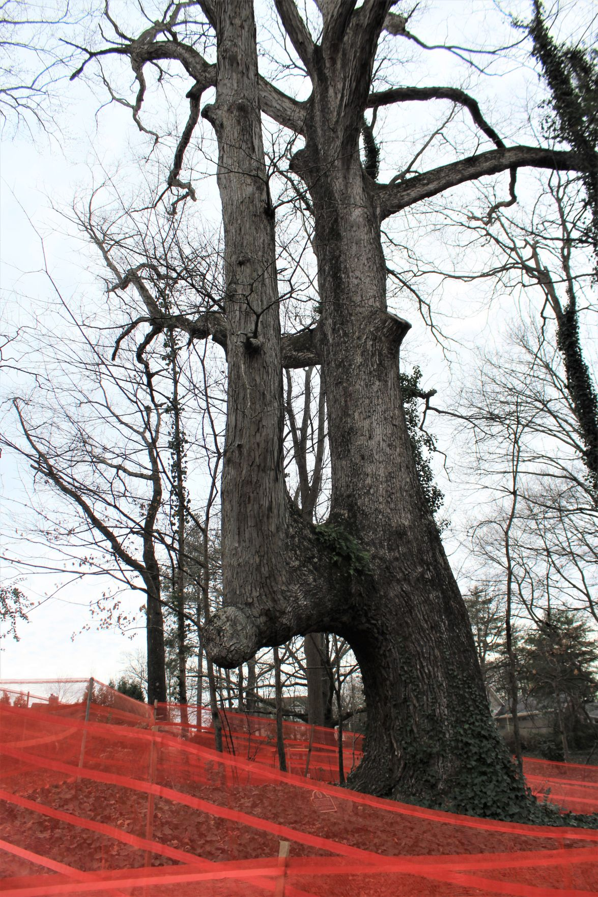 Indian Trail Tree (20).JPG