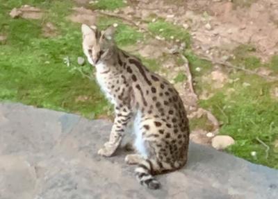 071421_MNS_serval_cat_003 serval