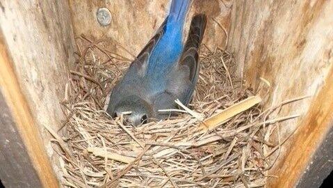 MPCS bluebird in nest.jpg