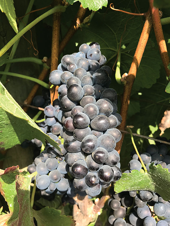 cluster of grapes.jpg