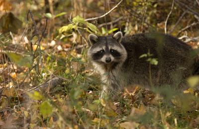 Rabies and you: Disease on decline in U.S. but threat is always present