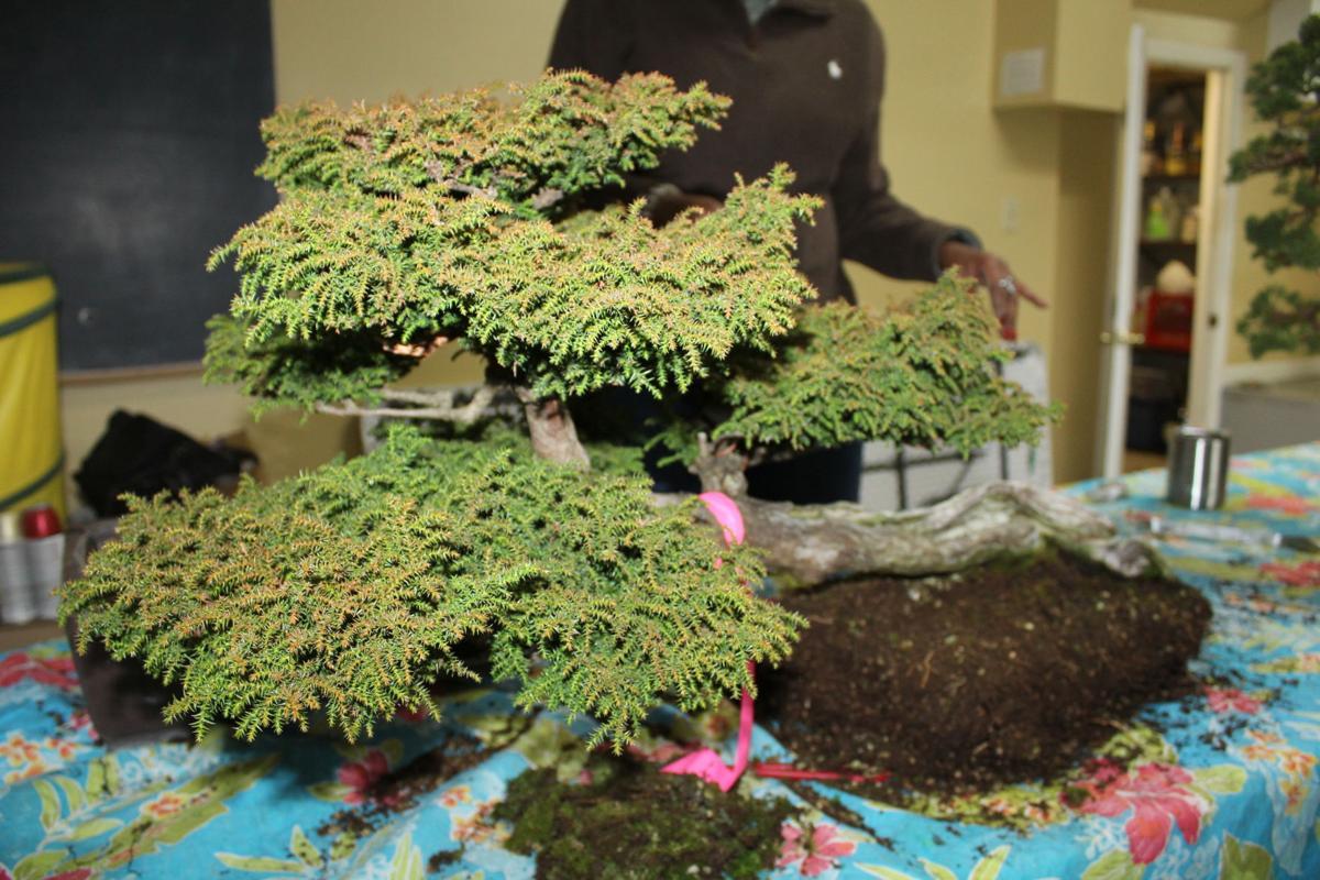 Bonsai Garden Volunteers Create Living Works Of Art News Mdjonline Com