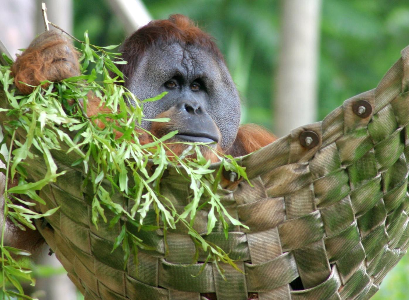 072920_MNS_full_zoo_plants_001 orangutan