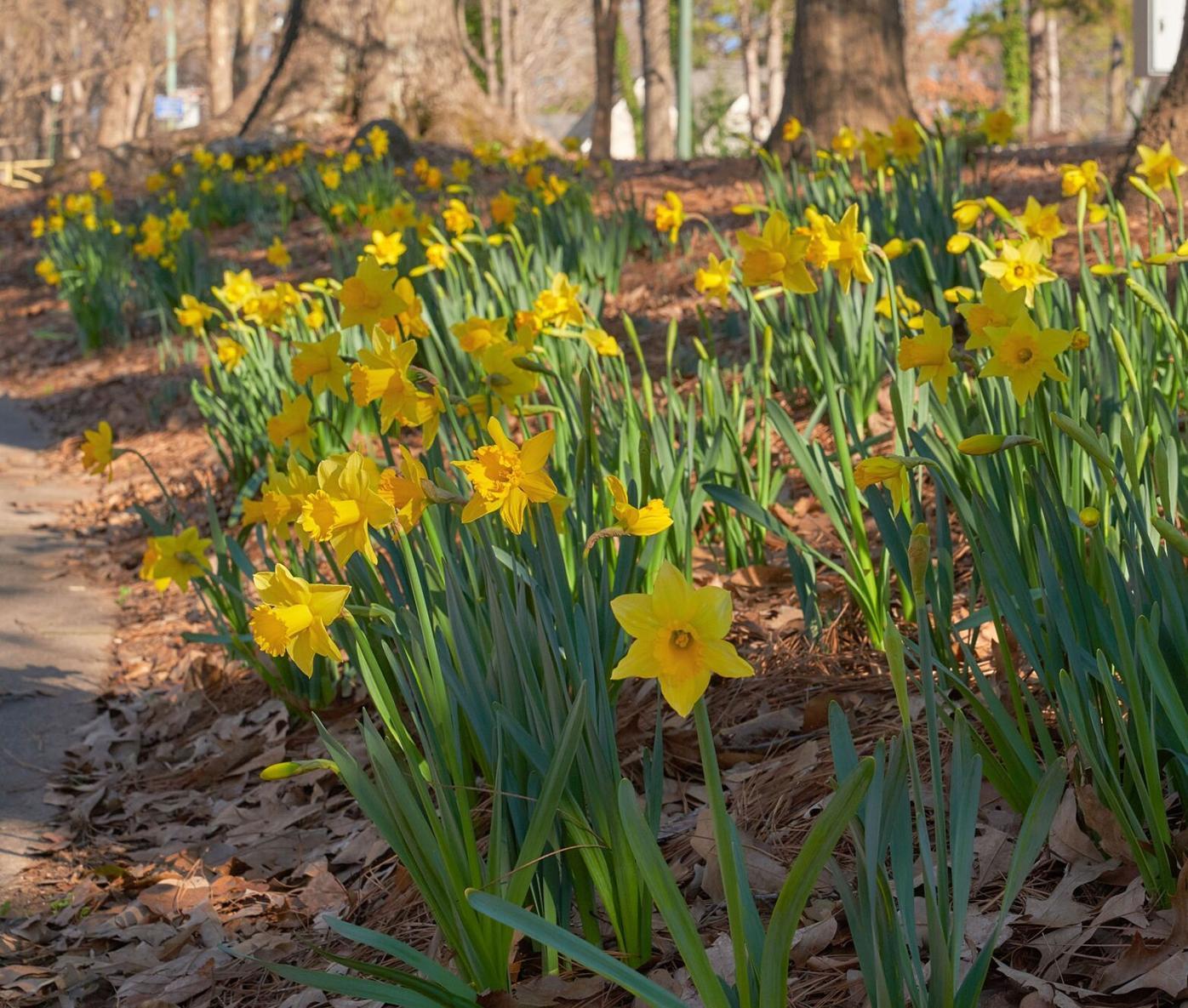 031021_MNS_Daffodil_Project_002 daffodils