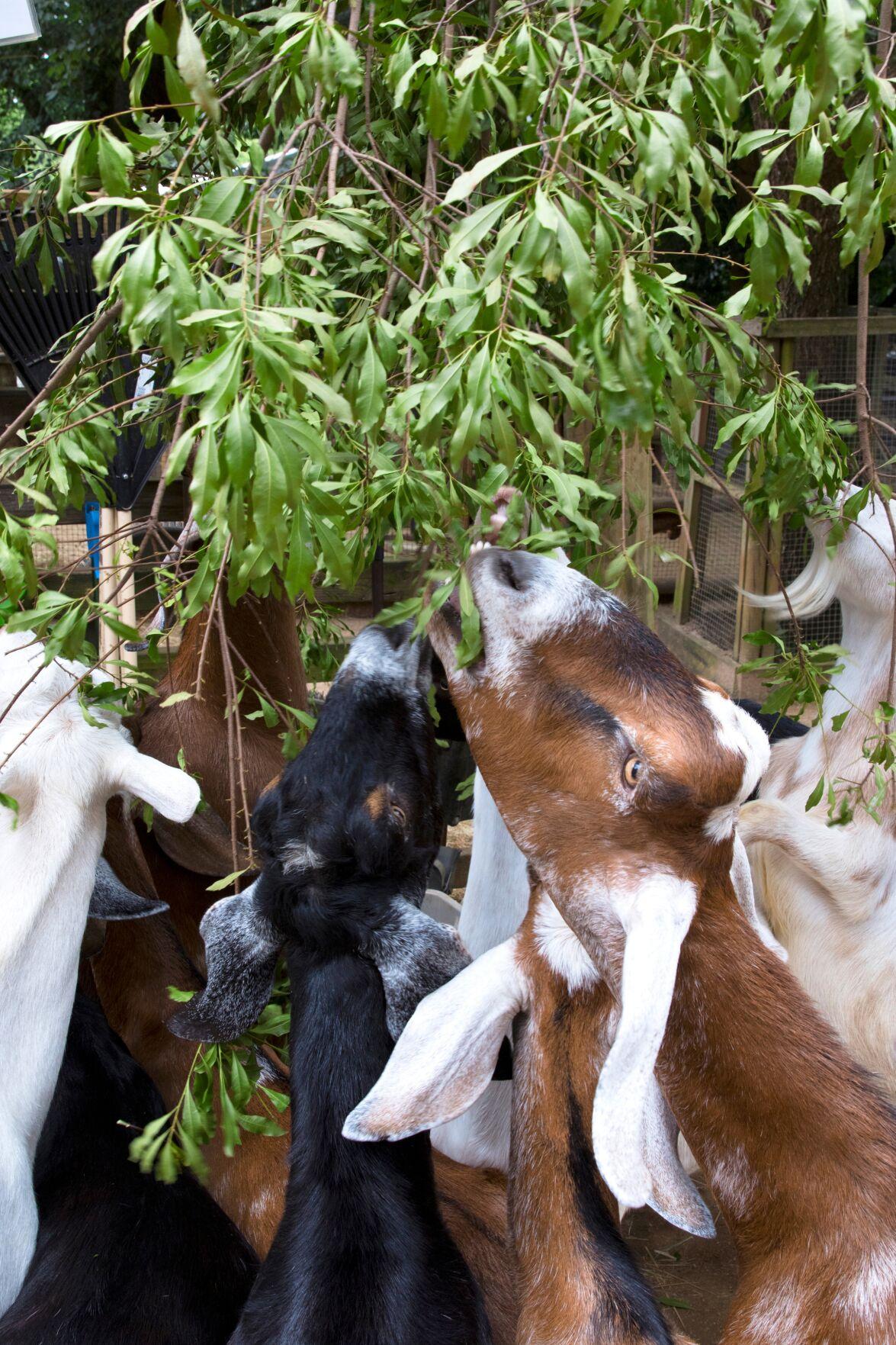 072920_MNS_full_zoo_plants_002 goats