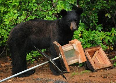 A young bear gets into a resident's feeder.