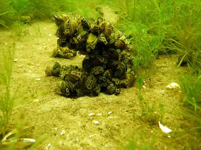 Zebra mussels are starting to show up in Aitkin County.