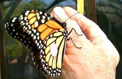 Before release, each butterfly was carefully tagged.