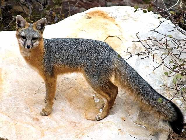 Red Fox Gray Fox Outdoors Messagemedia Co