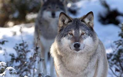 Wolves are top predators; they play an important role in a healthy ecosystem.