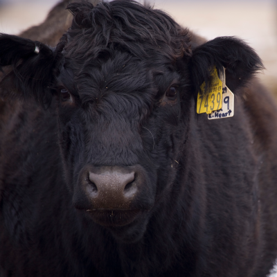 U of M Beef Team to host Cow/Calf Days Seminar Tour and Trade Show