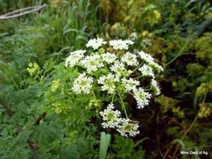 Blooming poison hemlock.