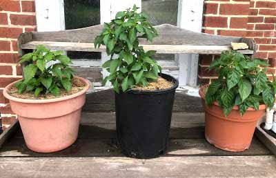 Mulched pepper plants