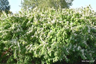 A flowering Bohemian knotweed plant