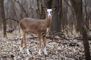 Tekiela - Piebald white-tailed deer