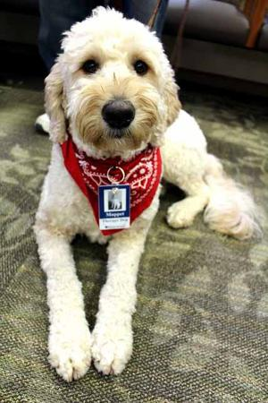 Muppet the therapy dog