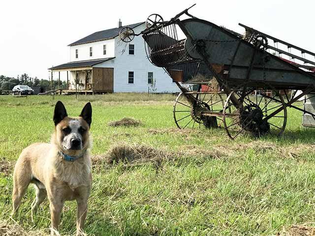 Amish - dog