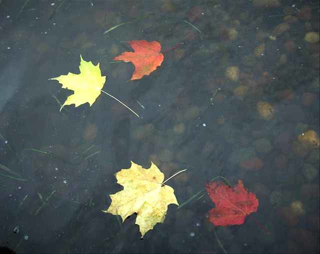 Mille Lacs Lake Watershed Management Group Topic of the Month - fall leaves