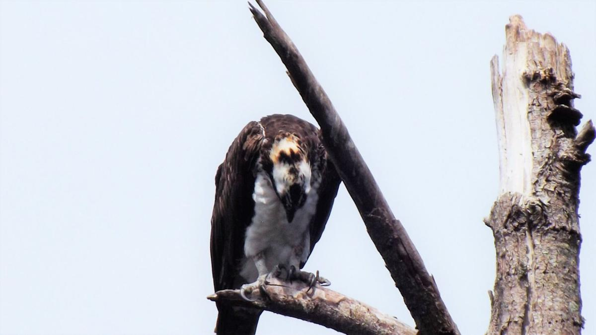 Osprey looking at feet TALONS DLHarris