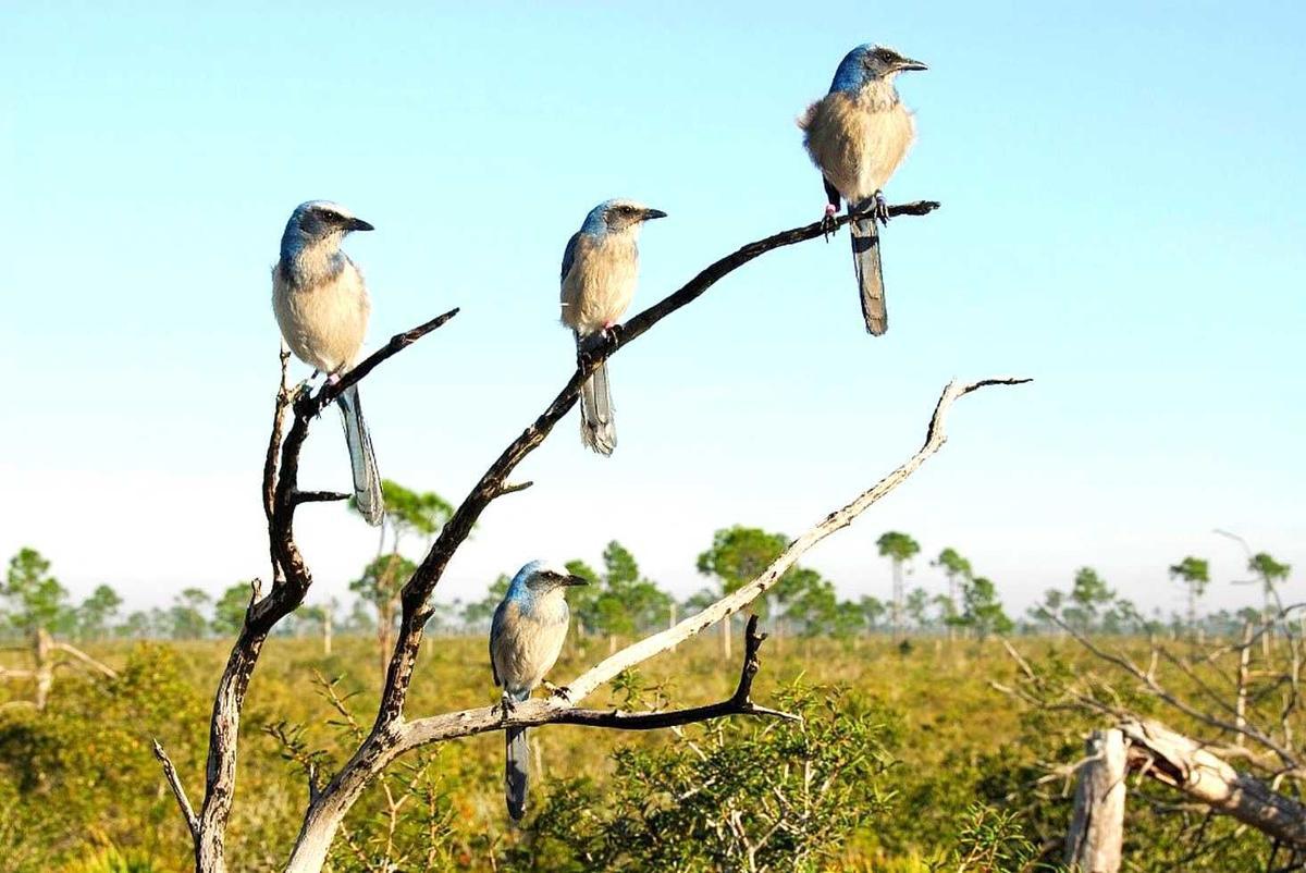 Scrub-Jays on a branch