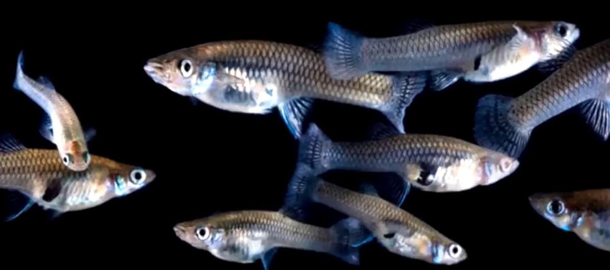 Archbold January  6 Eastern Mosquitofish.