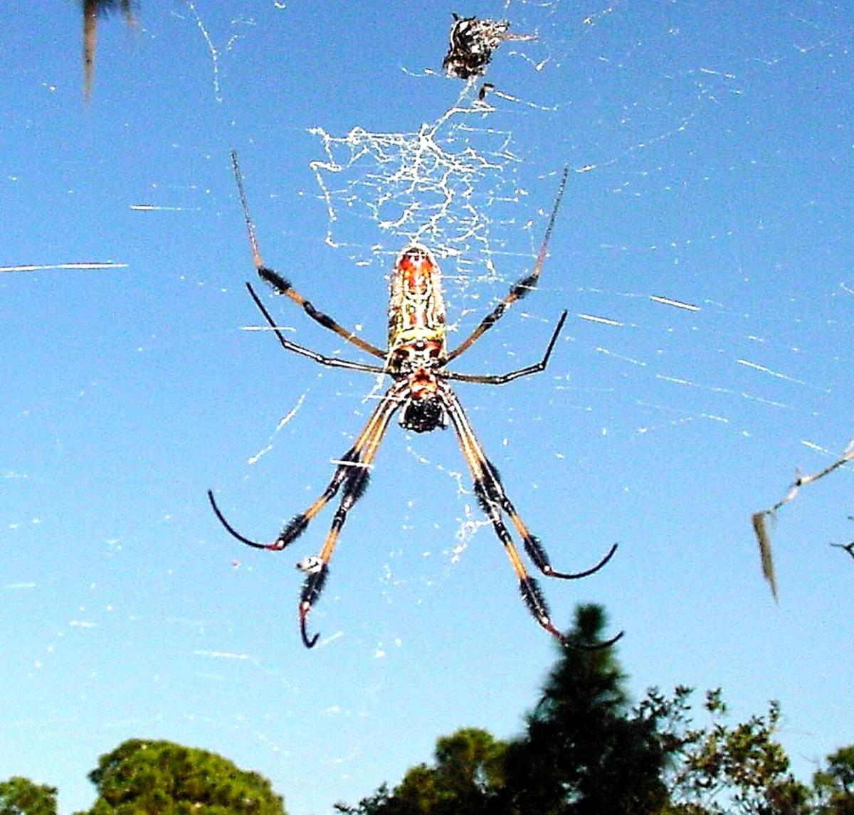 Golden Silk spider against blue sky
