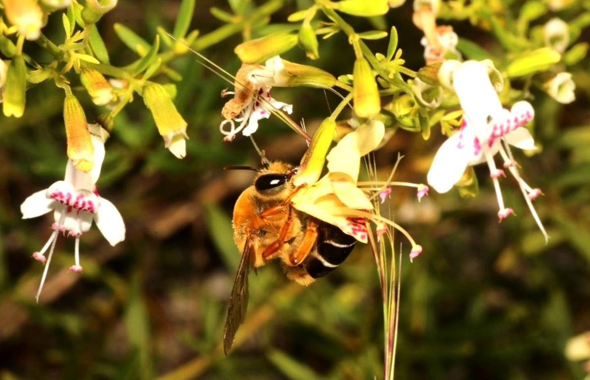 Archbold Jan 27 Scrub Plasterer Bee