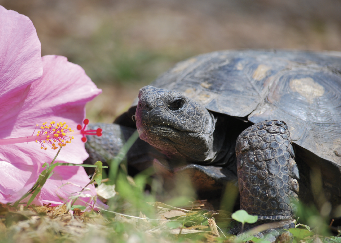 Mr. G the tortoise