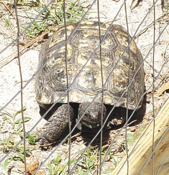 Tripod gopher tortoise