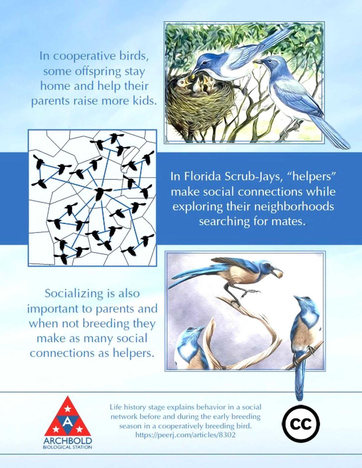 Archbold scrub-jay graphic