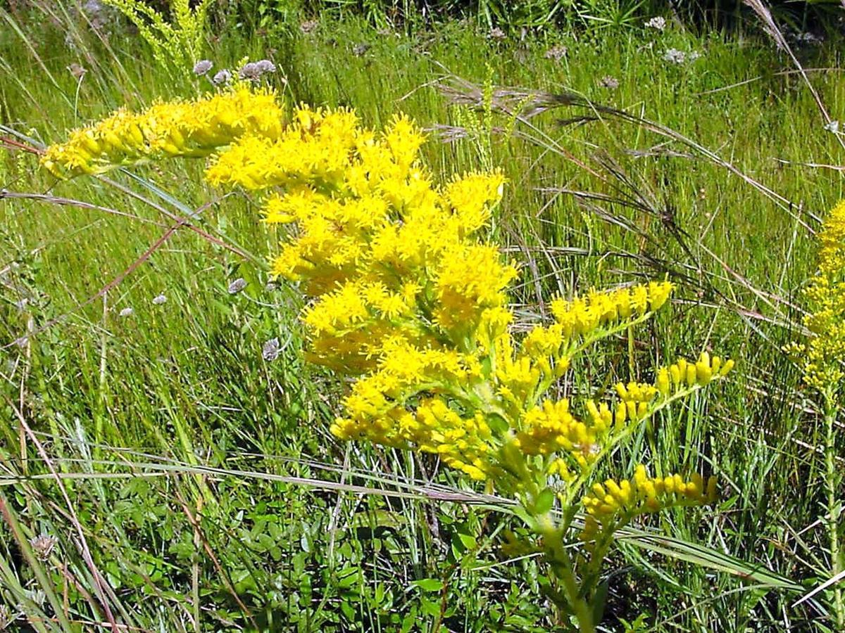 Hollow Goldenrod (yellow)