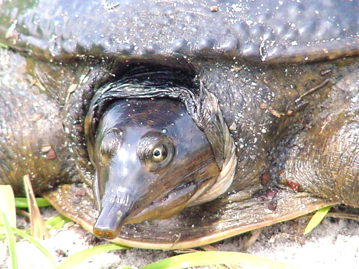 Wildlife Moment softshell turtle A