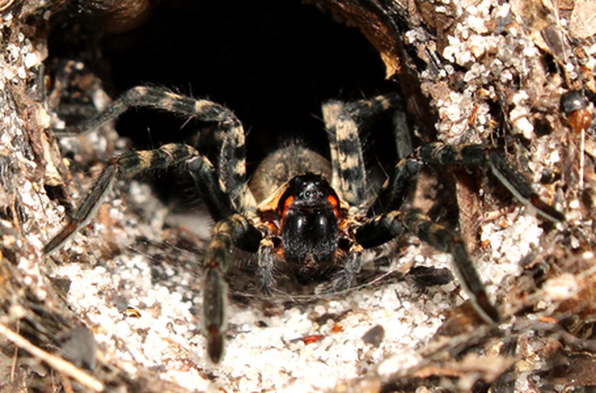 Archbold Jan 27 Lake Placid Funnel Wolf Spider