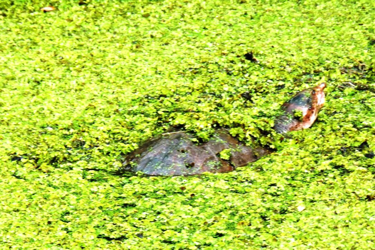 Wildlife Moment softshell turtle B