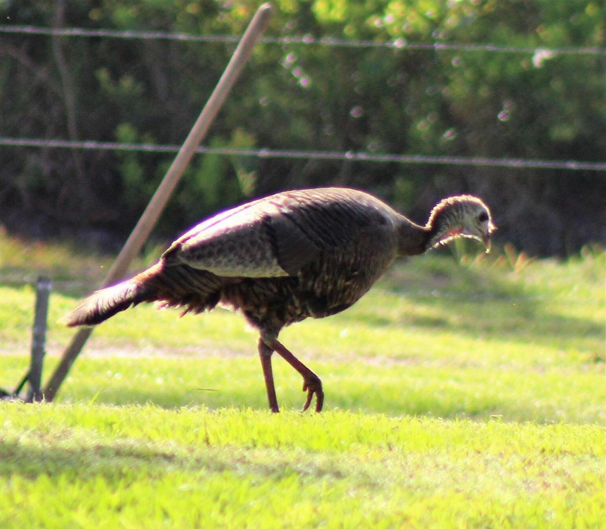 Florida Osceola turkey