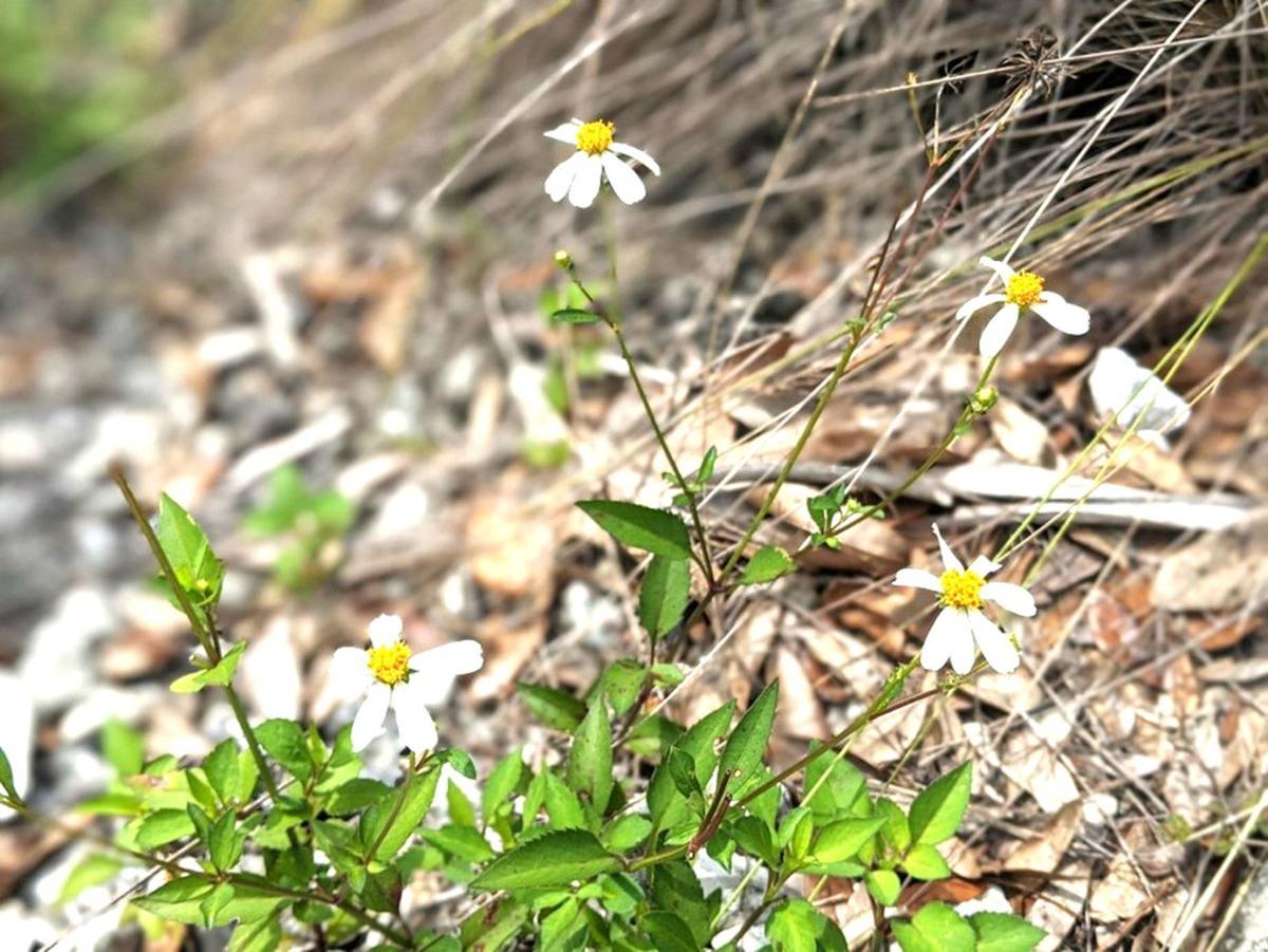Archbold June 3 beggar-tick plants