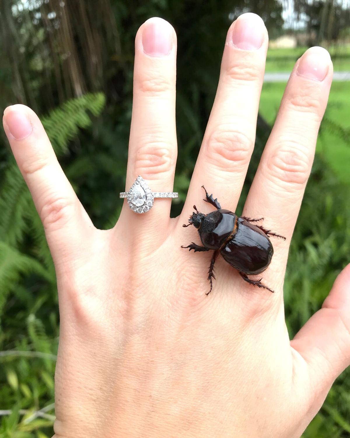 Wildlife Moment ox beetle A