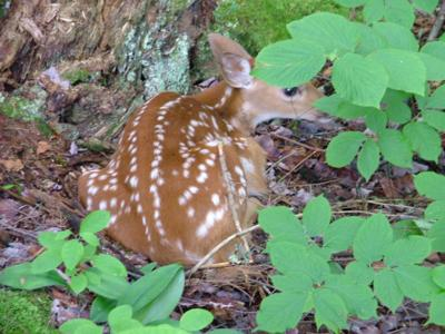 Baby fawn in cover-img