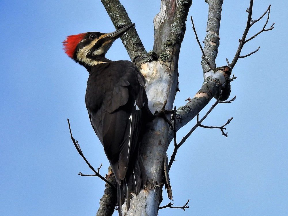 Pileated Woodpecker by Sharon Radtke, 2017