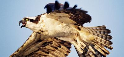 Vt F&W osprey-img