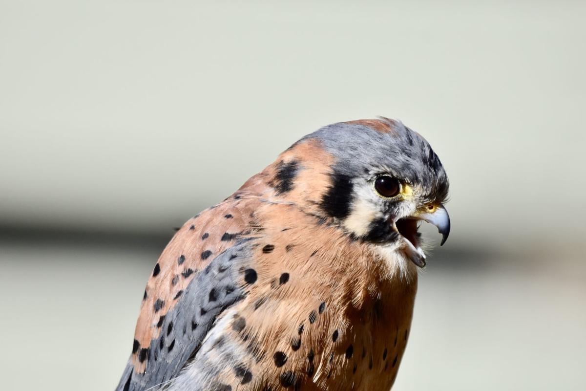 Kestrel bird -img