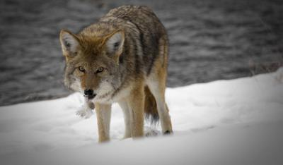 Coyote hunting: Mistaken identity threat to pet dogs