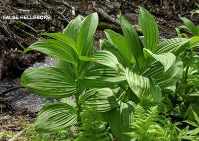 false hellebore and ramps