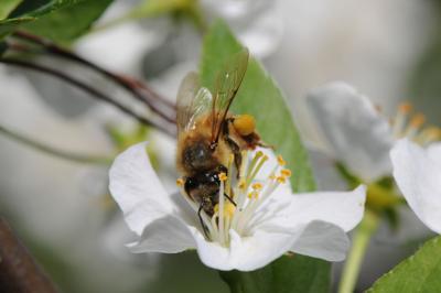 Vermont bee