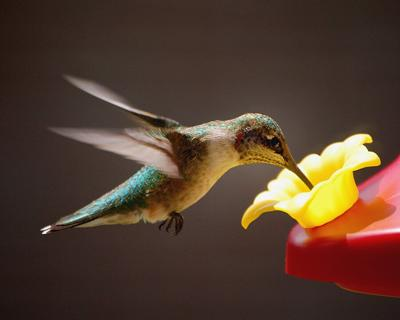 Feeding the Hummingbirds