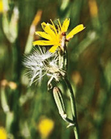 Rush skeletonweed flower
