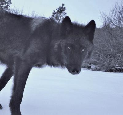 F&G Increases Wolf Tags For Hunters And Trappers