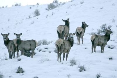 Marauding elk targeting haystacks in Lost River, Little Lost valleys