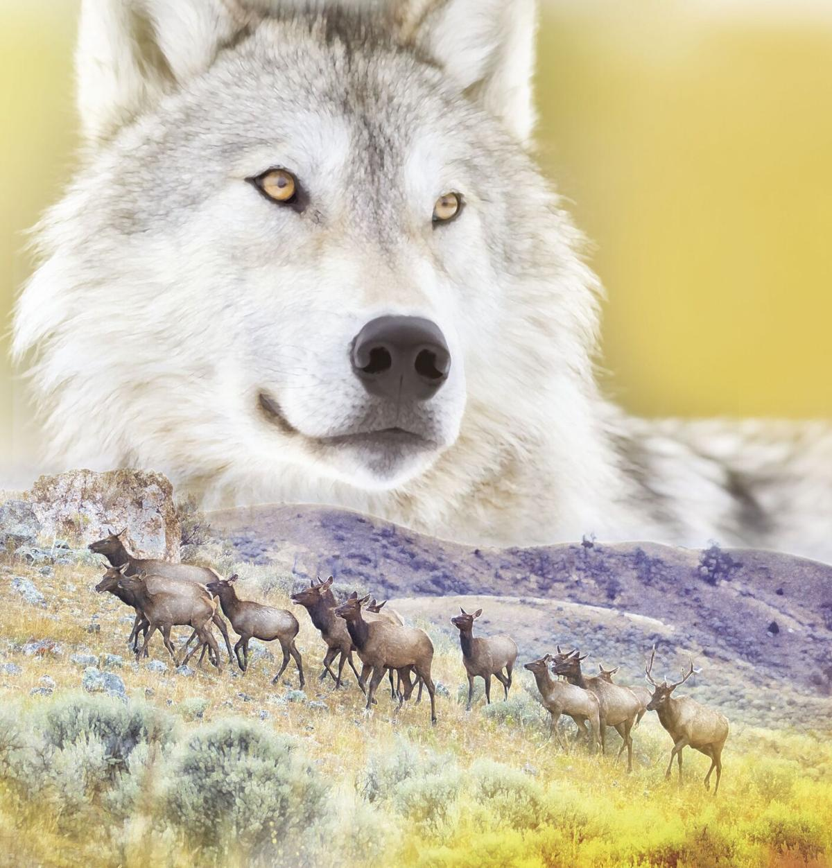wolves yellowstone image WIDE.tif